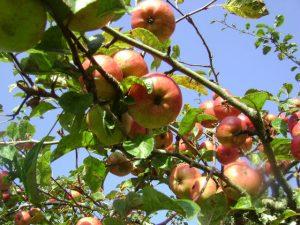 Az almafa remek választás